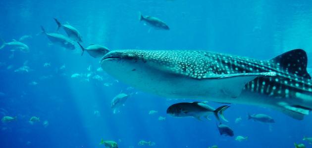 أكبر سمكة في العالم