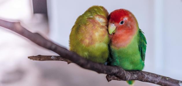 تربية طيور الحب في المنزل
