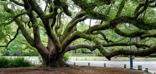 اقدم شجرة في العالم