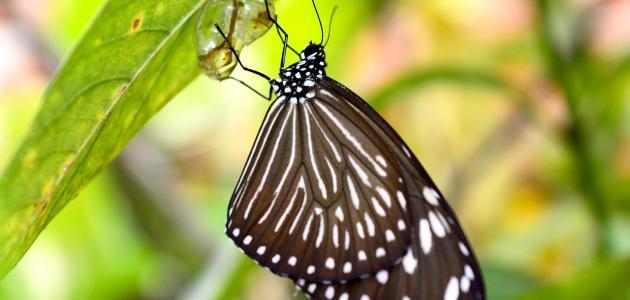 اسم صغير الفراشة