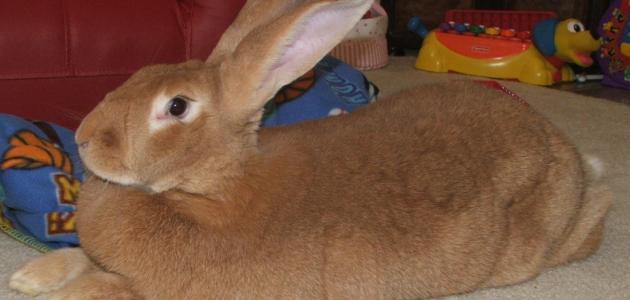 أكبر أنواع الأرانب حجماً
