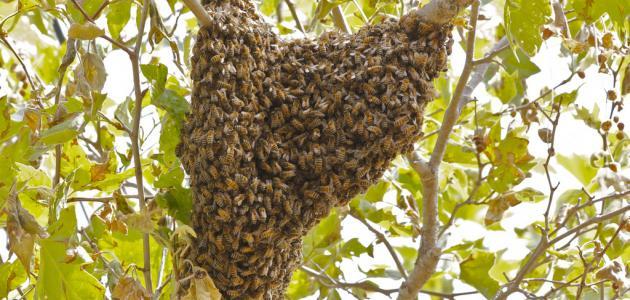 كيمياء يفهم الفيل على ماذا يدل وجود خلية النحل في المنزل Dsvdedommel Com