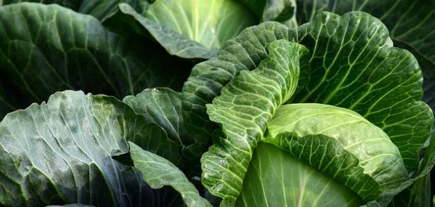 فوائد الكرنب الأخضر