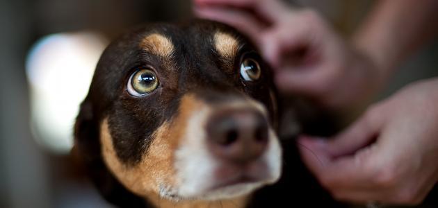 كيفية التخلص من قراد الكلاب