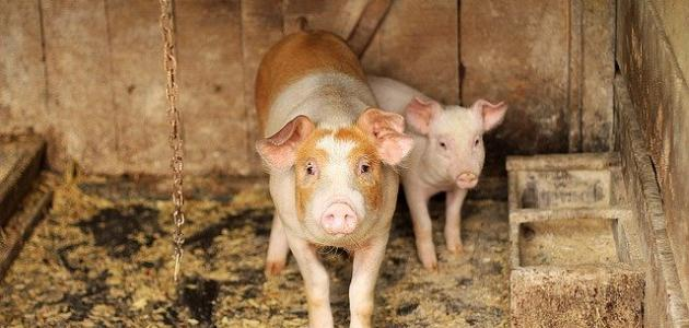 سبب تحريم لحم الخنزير