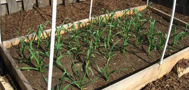 كيفية زراعة الثوم في المنزل