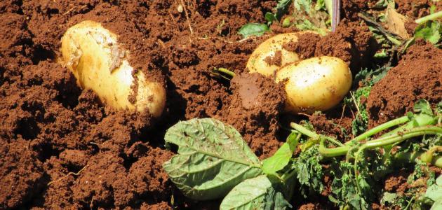 كيف تتم زراعة البطاطس
