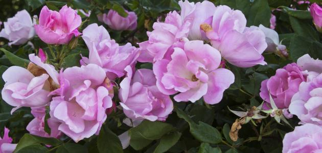 كيف أحافظ على الورد الطبيعي لمدة طويلة