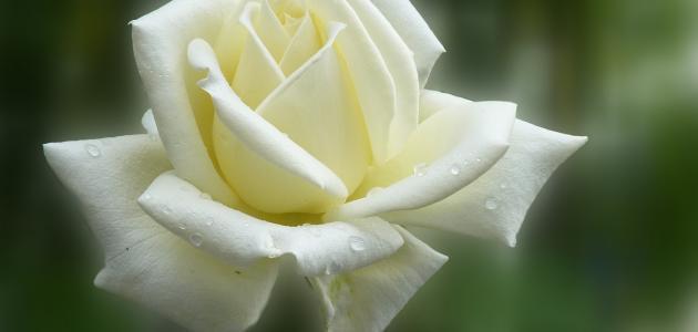 أجمل الورود البيضاء