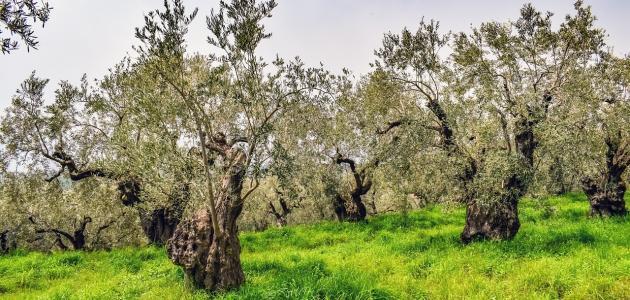بعد كم سنة تثمر شجرة الزيتون