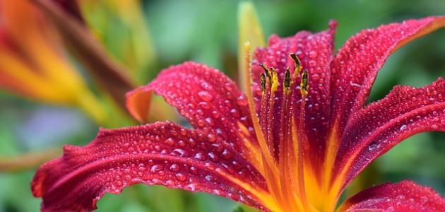 مراحل نمو الزهرة