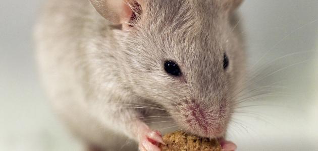 كيف تتخلص من الفئران في المنزل
