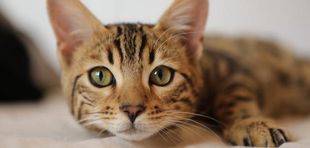 كيفية طرد البراغيث من القطط