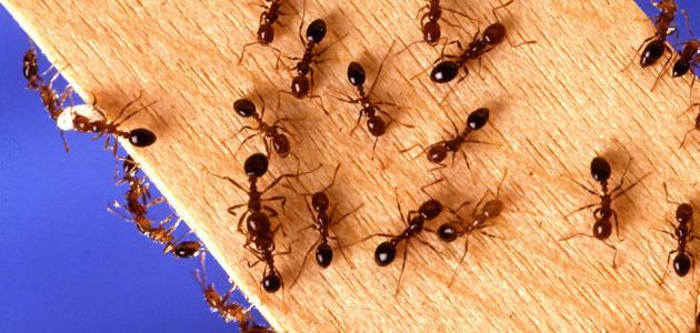 كيفية طرد النمل من المطبخ