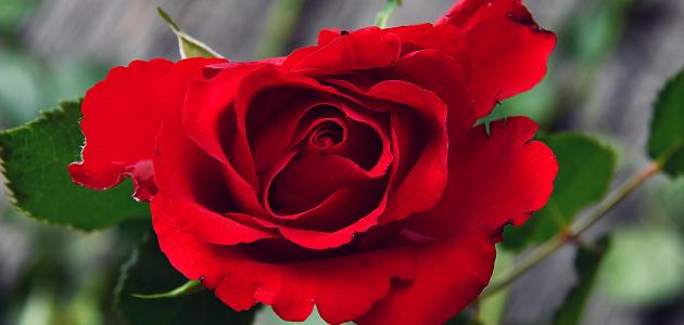 أحلى الورود في العالم