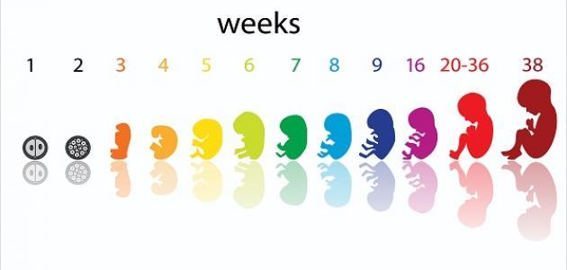 كيف يمكن حساب أسابيع الحمل