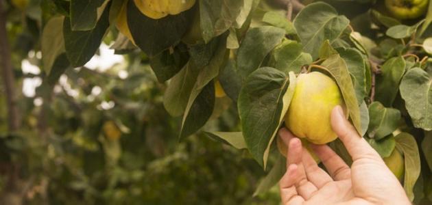 مراحل نمو شجرة التفاح