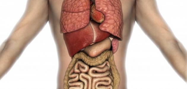 ما هي وظيفة الطحال في جسم الإنسان