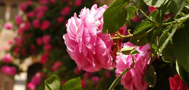 أجمل أنواع الزهور والورود في العالم