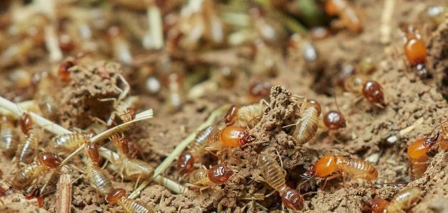 كيفية مكافحة النمل الأبيض