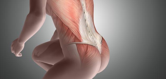 ما هي أكبر عضلة في الجسم