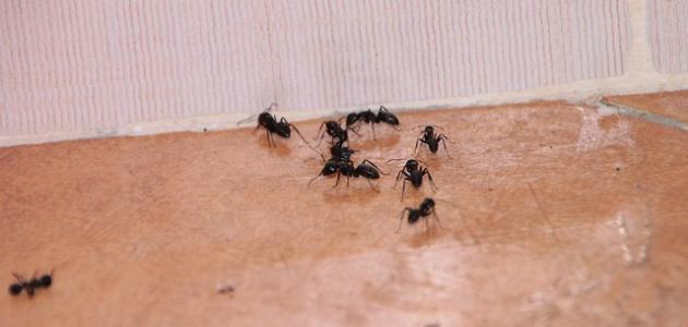 أسباب ظهور النمل بكثرة في المنزل