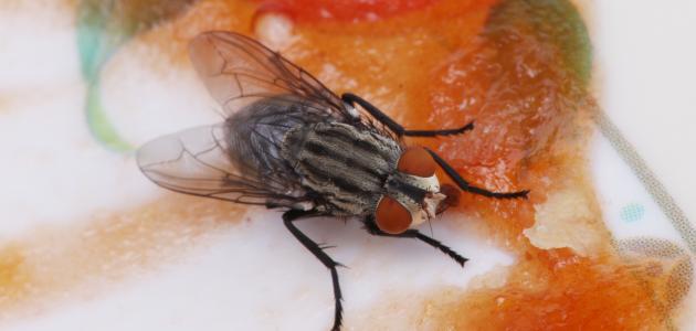 كيفية التخلص من الذباب بدون مبيدات حشرية