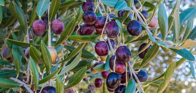 ما هي أول دولة في إنتاج الزيتون