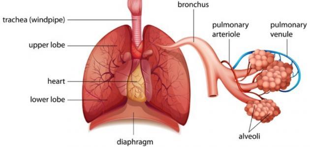 ما هي أعضاء الجهاز التنفسي