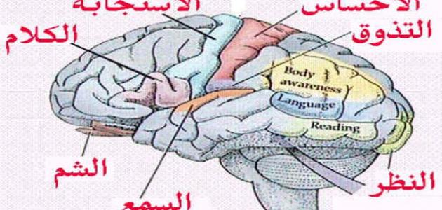 كيف يعمل المخ