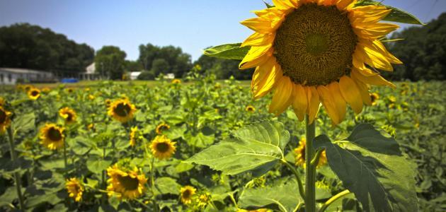 كيفية زراعة دوار الشمس