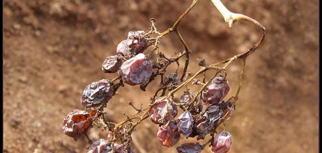 طريقة تجفيف العنب
