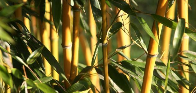 كيفية العناية بنبات البامبو