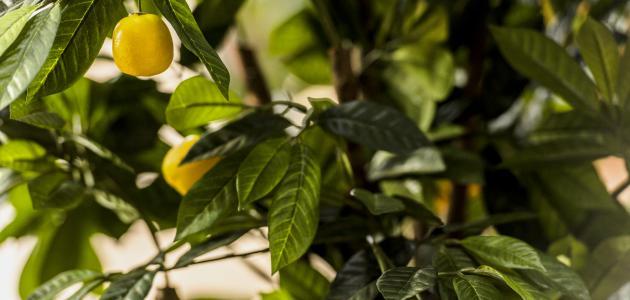 كيفية العناية بشجر الليمون