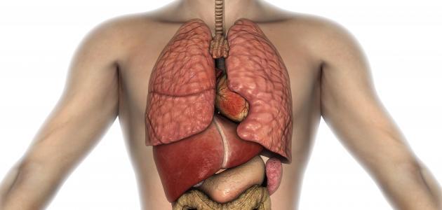 أين يوجد الكبد في الجسم
