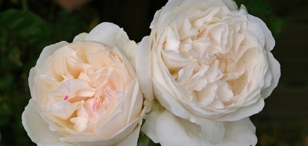 أجمل أنواع الورود الطبيعية
