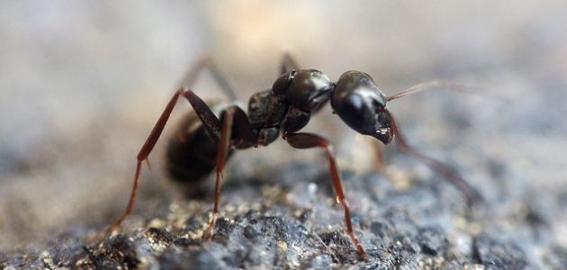 لماذا يوجد النمل في البيت