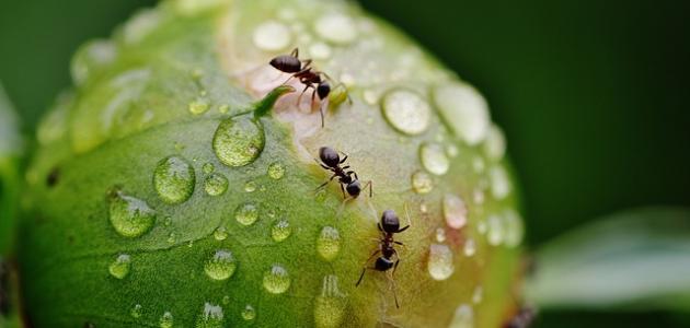 كيفية طرد النمل الأسود من البيت
