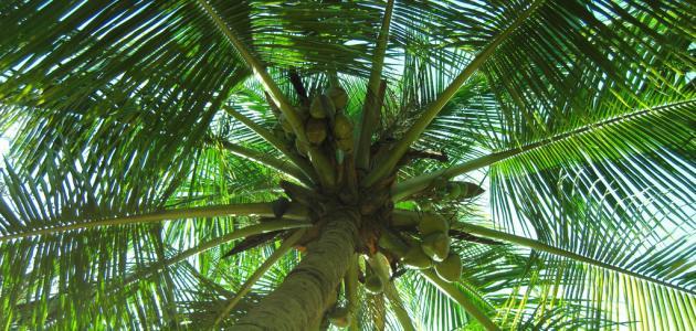 مصنع مخصص الاصطناعي جوز الهند السعودية النخيل شجرة مع وهمية شجرة يترك للتسوق مول الديكور Buy المملكة العربية السعودية شجرة النخيل البيانات الاصطناعية شجرة النخيل الاصطناعي اصطناعية شجرة جوز