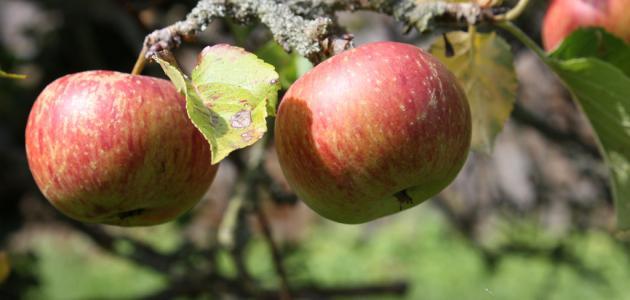 كيف تزرع شجرة التفاح