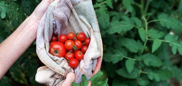 طريقة حفظ الطماطم