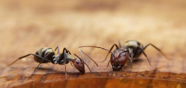 كيف أقضي على النمل الأسود