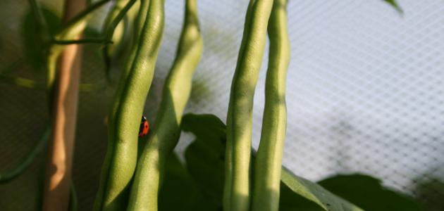 كيف تزرع اللوبيا