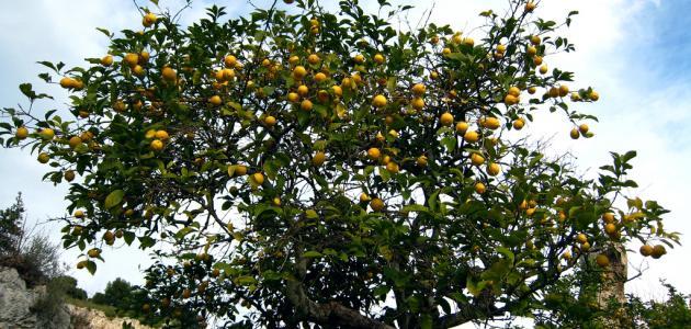 كيفية الاعتناء بشجرة الليمون