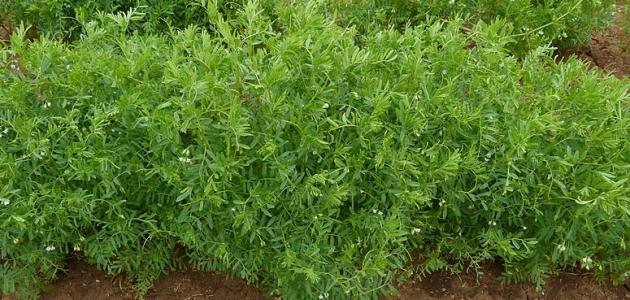 كيفية زراعة العدس