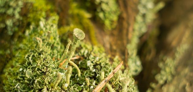 كيف تتنفس الفطريات والحزازيات