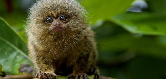 معلومات عن القرد القزم