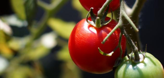 كيف تتم زراعة الطماطم