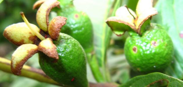 كيفية زراعة الجوافة
