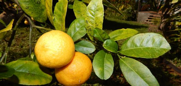 أسباب اصفرار أوراق الليمون